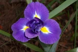 foto-iris-kasatik-fotografii-sovety-vrediteli-bolezni-forum-komnatnye-rastenija-cvety-2